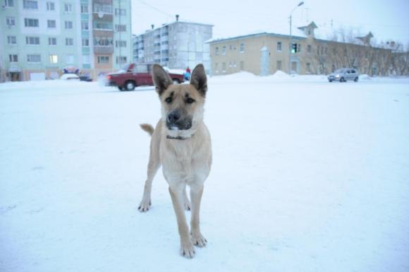В Воркуте некому содержать отловленных собак