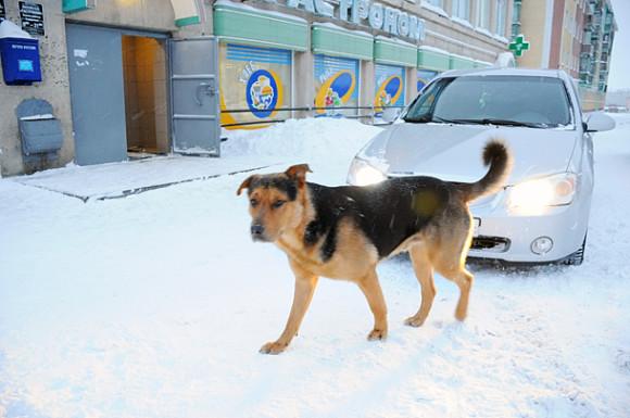 За выходные три жительницы Воркуты пострадали от укусов собак
